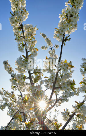 White cherry blossoms at backlight - Stock Photo