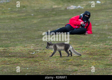 Norway, Svalbard, Spitsbergen, Hornsund, Gnalodden. Arctic fox (Vulpes lagapus) in brown summer fur close to tourist. (For Editorial Use Only) - Stock Photo