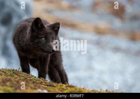 Norway, Svalbard, Spitsbergen. Hornsund, Gnalodden, arctic fox (Vulpes lagapus) with darker 'blue morph' coloring. - Stock Photo