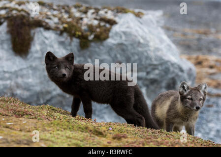 Norway, Svalbard, Spitsbergen. Hornsund, Gnalodden, arctic fox kits (Vulpes lagapus) in summer coat with darker 'blue morph' fox. - Stock Photo