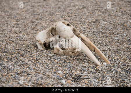 Norway, Svalbard, Nordaustlandet, Nordaust-Svalbard Nature Reserve, Torellneset. Skull of Atlantic walrus (Odobenus rosmarus rosmarus) on rocky beach. - Stock Photo
