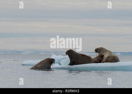Norway, Svalbard, Austfonna Ice Cap. Brasvellbreen glacier, longest glacier face in northern hemisphere. Female walrus with young on iceberg. - Stock Photo
