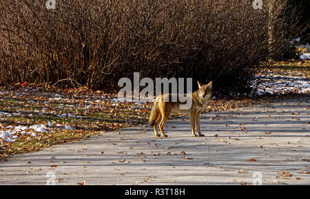 Coyote one mature female animal on road in urban green space in Toronto, Ontario, Canada - Stock Photo