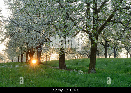 Germany, Baden-Wuerttemberg, Cherry trees at blossom with sunrays near sunrise at backlight in spring - Stock Photo