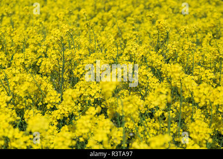 England, North Yorkshire, Rievaulx. Near River Rye. Fields of bright yellow canola (aka rapeseed). Used for oil and as a vegetable. - Stock Photo