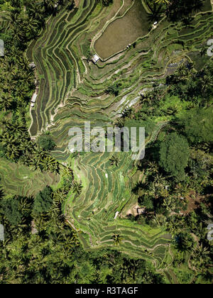 Indonesia, Bali, Ubud, Tegalalang, Aerial view of rice fields, terraced fields - Stock Photo