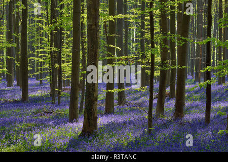 belgium, Flemish Brabant, Halle, Hallerbos, Bluebell flowers, Hyacinthoides non-scripta, beech forest in early spring - Stock Photo
