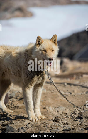 Greenland, Scoresbysund, aka Scoresby Sund, Ittoqqortoormiit sled dogs. - Stock Photo