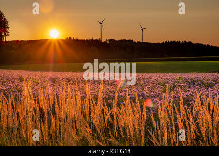 Germany, flowering scorpionweed in summer, wind park at sunset - Stock Photo