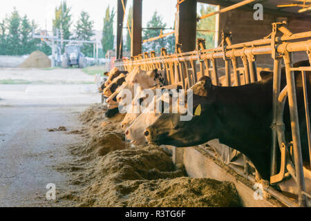 Cows in stable on a farm - Stock Photo