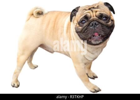 domestic dog fawn Pug breed - Stock Photo