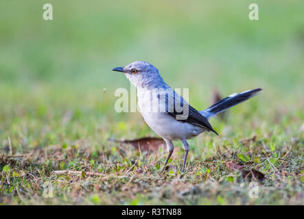 Belize, Crooked Tree Wildlife Sanctuary. Tropical Mockingbird walks across a lawn hunting for food. - Stock Photo