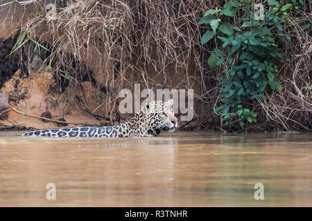 Brazil, The Pantanal, Rio Cuiaba, jaguar, Panthera onca. A jaguar swims along the riverbank looking for prey. - Stock Photo