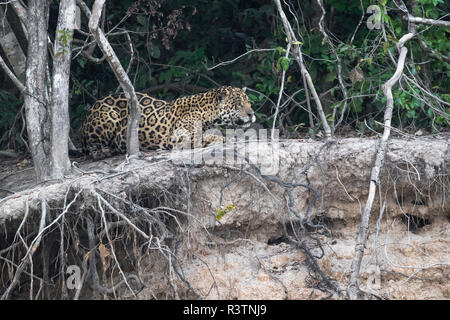 Brazil, The Pantanal, Rio Cuiaba, jaguar, Panthera onca. A large male jaguar suns himself on the riverbank. - Stock Photo
