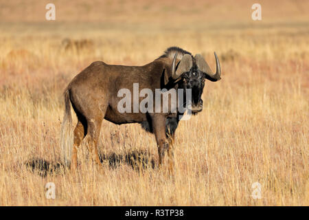 A black wildebeest (Connochaetes gnou) in open grassland, Mokala National Park, South Africa - Stock Photo