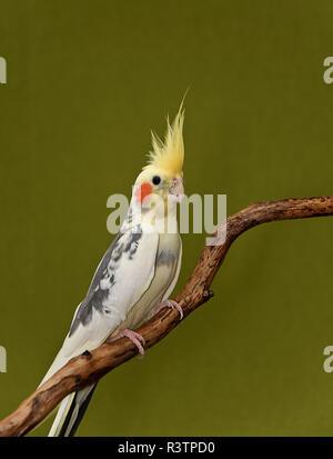 cockatiel parrot - Stock Photo