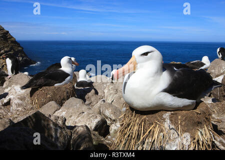 Nesting Black-Browed Albatross. West Point Island. Falkland Islands. - Stock Photo