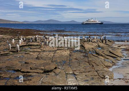 Gentoo Penguins. West Point Island. Falkland Islands. - Stock Photo
