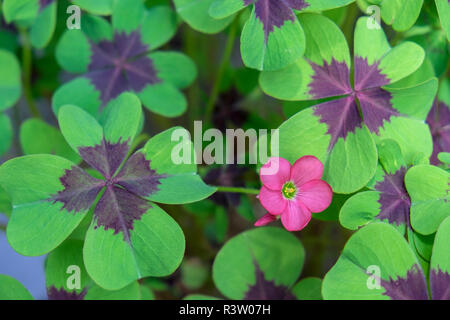 Flowering Shamrock Plant, Usa - Stock Photo