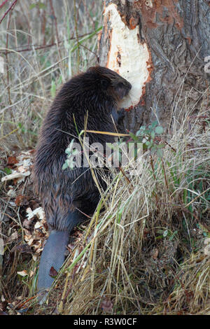 American Beaver gnawing on tree - Stock Photo