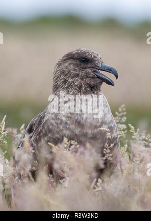 Falkland Skua or Brown Skua (Stercorarius antarcticus, exact taxonomy is under dispute) are the great skua of the southern polar and subpolar region. - Stock Photo