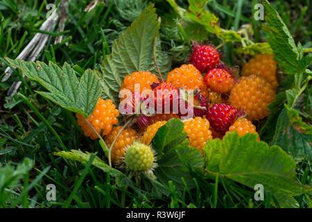 Alaska. Wild golden and red salmonberries (Rubus spectabilis) - Stock Photo