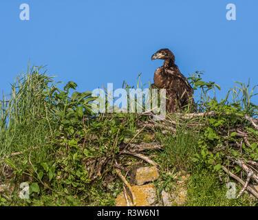 USA, Alaska, Katmai National Park, Kukak Bay. Baby bald eagle, Haliaeetus Leucocephalus, in its nest. - Stock Photo