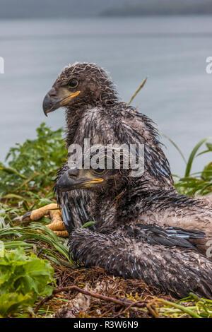 USA, Alaska, Katmai National Park, Kukak Bay. Baby bald eagles, Haliaeetus Leucocephalus, in their nest. - Stock Photo