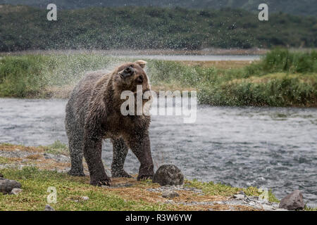 USA, Alaska, Katmai National Park. Grizzly Bear, Ursus Arctos, shaking the water off after fishing for salmon in a stream in Geographic Harbor. - Stock Photo