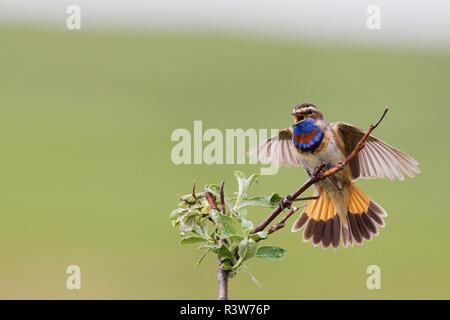 Male Bluethroat Courtship Display - Stock Photo