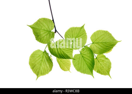 Lime tree, Tilia spec., leaves against white background - Stock Photo