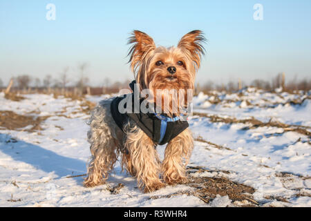 Yorkshire Terrier wearing a coat on a sunny winter day - Stock Photo