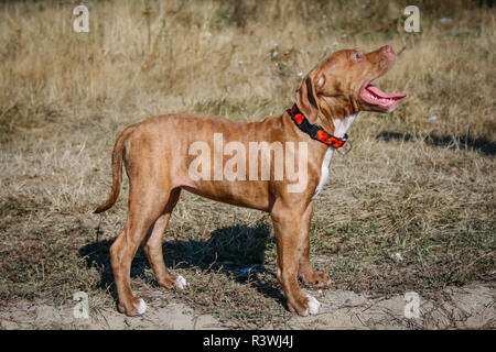 Red brindle American Pit Bull Terrier puppy standing on a meadow - Stock Photo