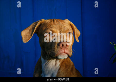 Portrait of a red brindle American Pit Bull Terrier pup on a sunny day in front of a blue background - Stock Photo