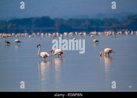PINK FLAMINGOS IN A LAKE ON A SUNNY DAY FEEDING - Stock Photo