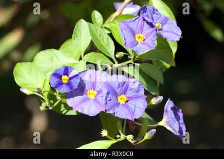 potato bush solanum,ratonettii,enzian bush - Stock Photo