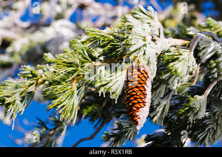 Rime ice on pine cones and branches, San Bernardino National Forest, California, USA - Stock Photo