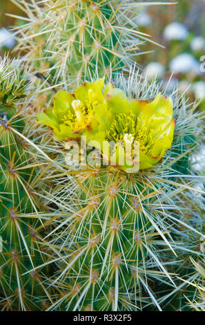 Buckhorn Cholla flower (Cylindropuntia acanthocarpa), Anza-Borrego Desert State Park, California, USA - Stock Photo