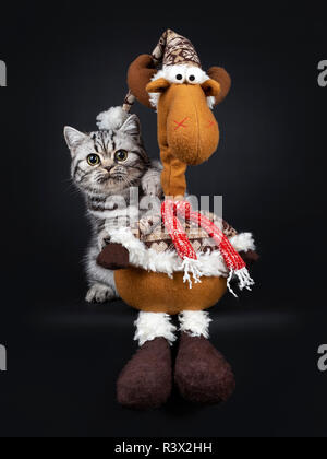 Cute little black silver blotched British Shorthair cat kitten standing behind reindeer christmas toy, looking at camera with wide open eyes. Isolated - Stock Photo
