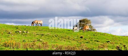 Przewalski wild horses pack graze along safari track in Highland Wildlife Safari Park, Scotland - Stock Photo