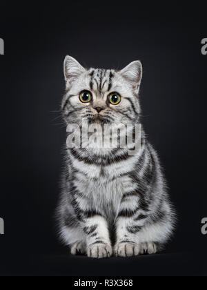 Cute little black silver blotched British Shorthair cat kitten sitting straight up, looking innocent beside camera with wide open eyes. Isolated on bl - Stock Photo