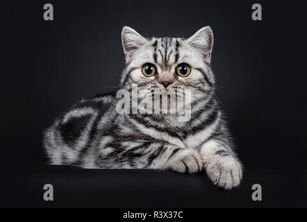Cute little black silver blotched British Shorthair cat kitten laying down, looking at lense with wide open eyes. Isolated on black background. - Stock Photo