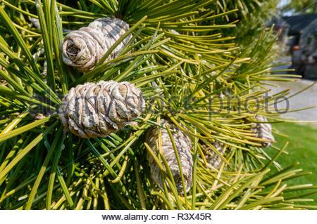 Cones growing on Japanese umbrella-pine (Sciadopitys verticillata) - Stock Photo
