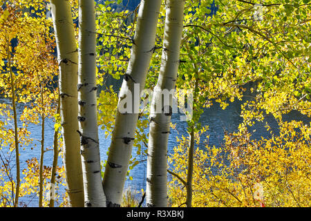 Aspen Tree along Lost Lake, Autumn, Kebler Pass area, Colorado. - Stock Photo