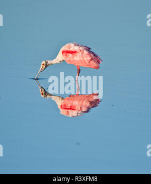 USA, Florida, Sanibel Island, Ding Darling NWR, Roseate Spoonbill - Stock Photo