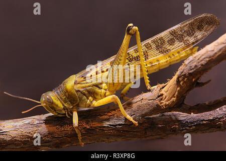 macro shot of a desert locust schistocerca gregaria - Stock Photo