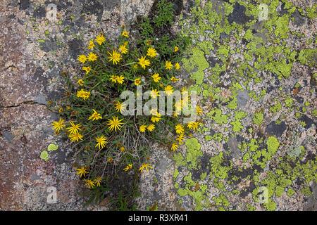 USA, Colorado, White River National Forest, Lichen on rock, Dwarf Golden Aster, Heterotheca pumila
