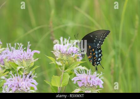 Spicebush Swallowtail (Papilio Troilus) on Wild Bergamot (Monarda fistulosa) Marion County, Illinois - Stock Photo