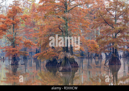 Cypress trees in fall color Horseshoe Lake State Fish and Wildlife Area, Alexander County, Illinois - Stock Photo