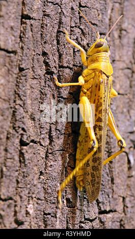 close-up desert grasshopper schistocerca gregaria - Stock Photo